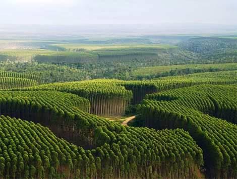 floresta-eucalipto